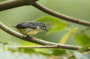 Fire-breasted_Flowerpecker_CK9F2048.jpg