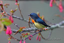 Green-backed_Flowerpecker-5868.jpg