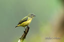 Green-backed_Flowerpecker_DSC1399.jpg