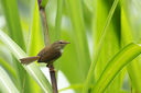 Strong-footed_Bush_Warbler_CK9F2877.jpg