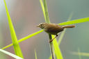 Strong-footed_Bush_Warbler_CK9F2933.jpg