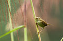 Strong-footed_Bush_Warbler_CK9F2965.jpg
