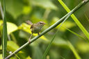 Strong-footed_Bush_Warbler_CK9F2976.jpg