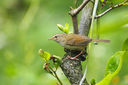 Strong-footed_Bush_Warbler_CK9F3047.jpg