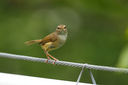 Strong-footed_Bush_Warbler_CK9F3054.jpg