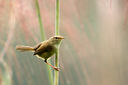 Strong-footed_Bush_Warbler_CK9F3119.jpg